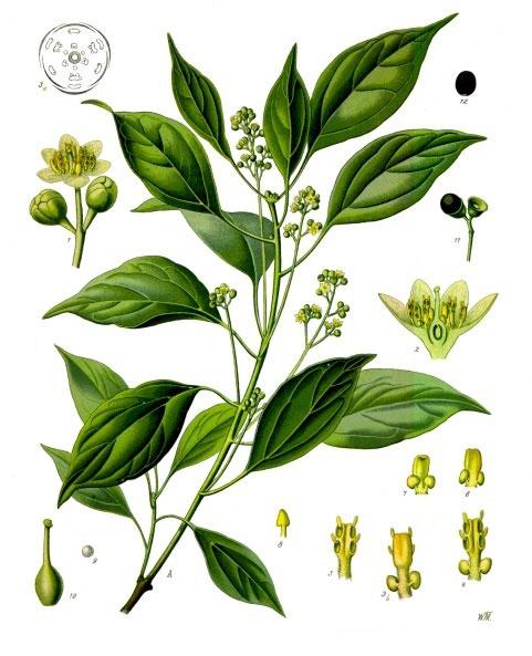 Planche de Köhler représentant l'abre, ses feuilles et ses fruits