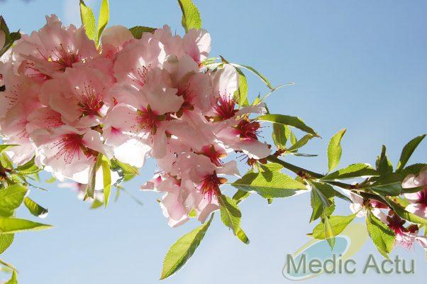 Branche d'amandier amer en fleur