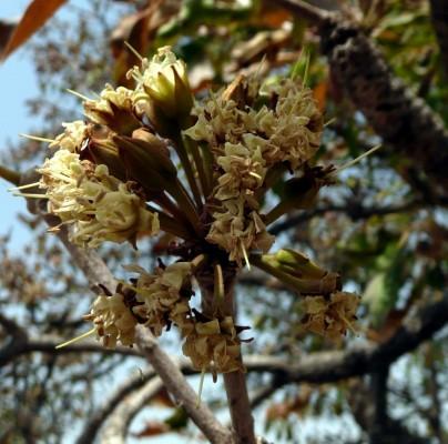 Les fleurs du Karité