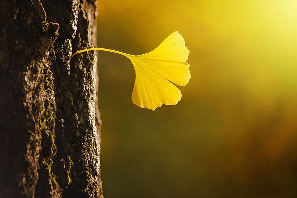 Feuille de gingko biloba en automne