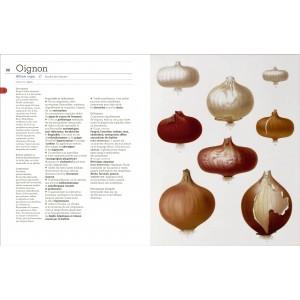 Double page sur l'oignon, avec plante botanique