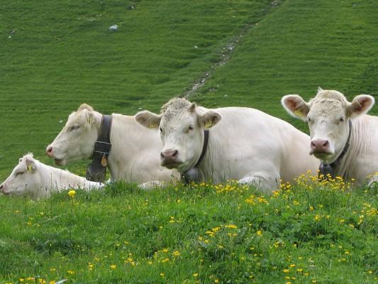 Trois vaches blanches dans un pré vert