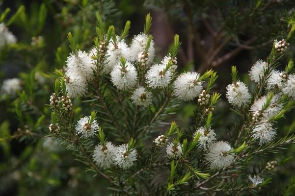 La très jolie floraison blanche de l'arbre à thé