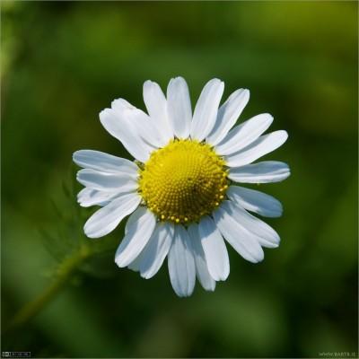 Fleur blanche au coeur jaune de camomille romaine